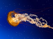 Screen shot: Jelly Fish